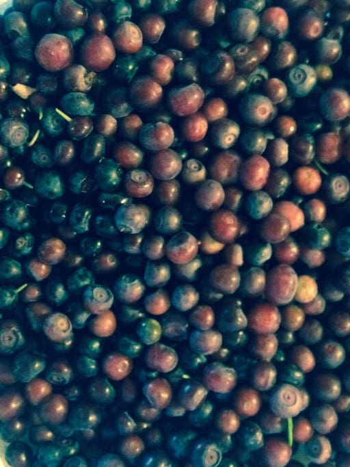 Spend the day picking huckleberries!