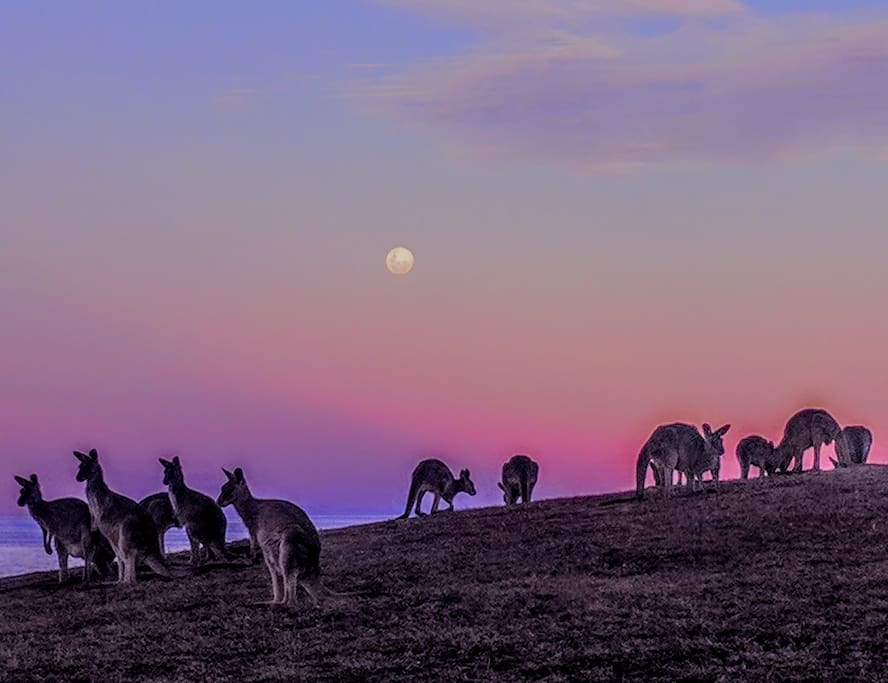Kangaroos at moonrise.