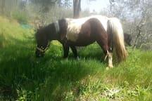 The pony Menta