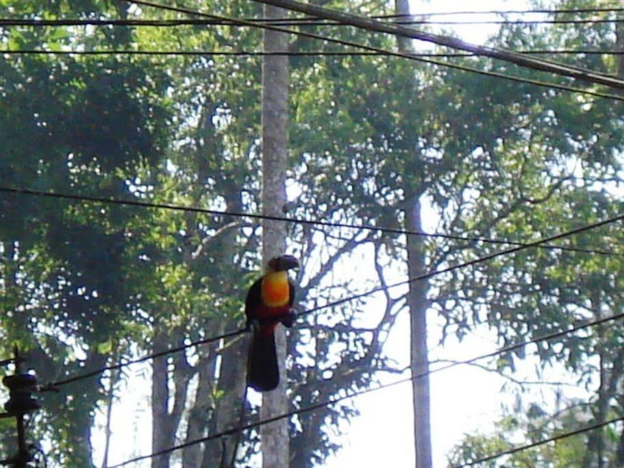 Diversidade de pássaros - Tucano