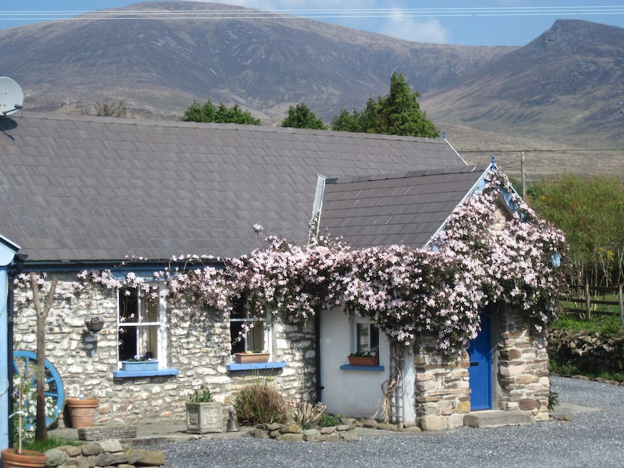River Cottage with clematis in full bloom and the Slieve Mish mountains behind