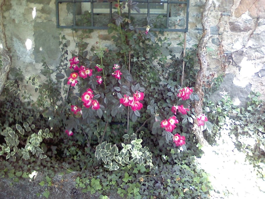 Le rose nella terrazza davanti casa