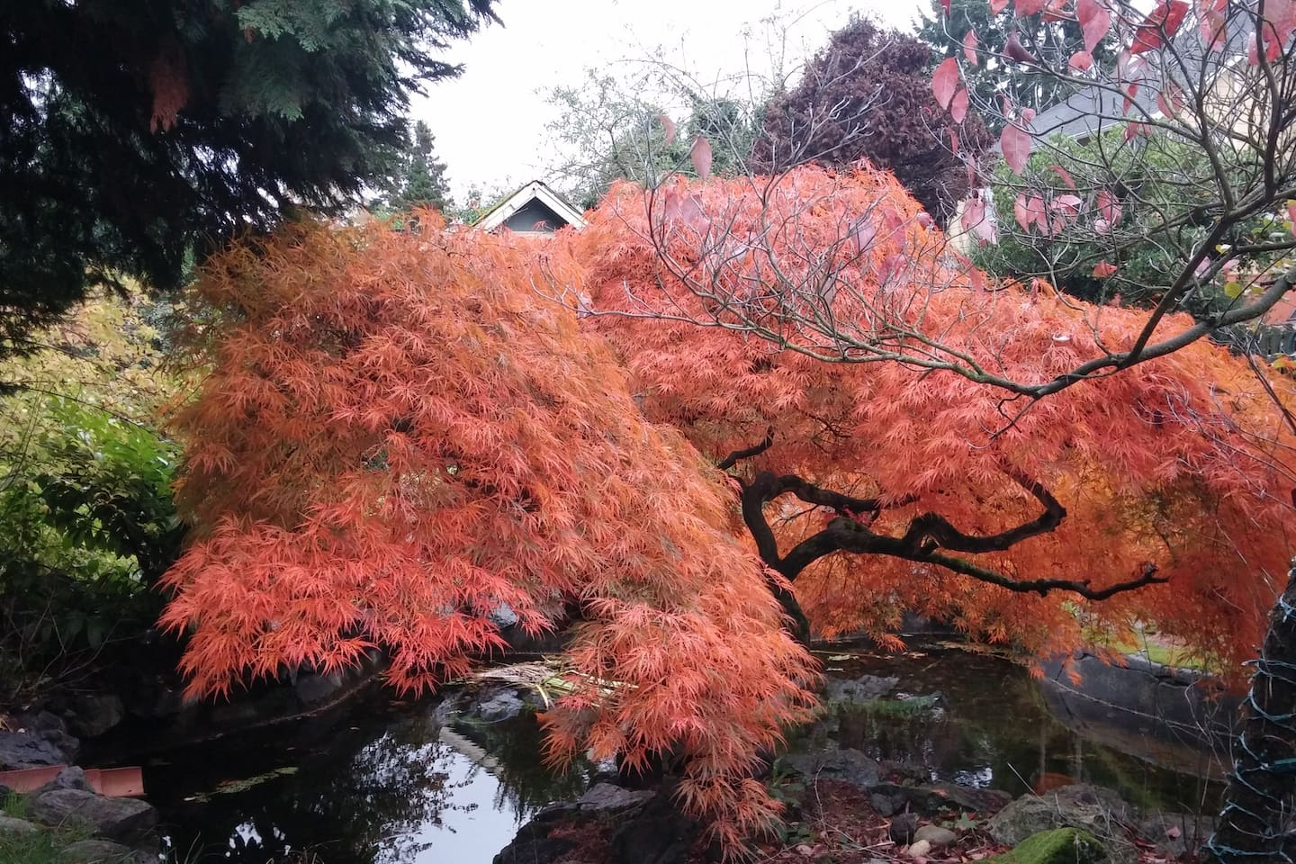 A fiery Japanese maple in Autumn