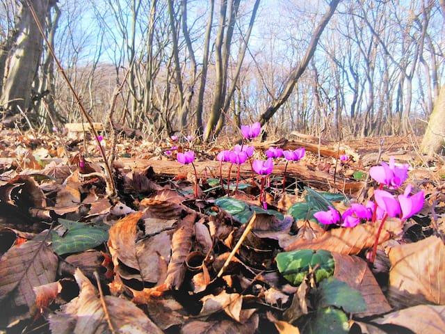Alpenveilchen im Wald sie blühen von Dezember bis April