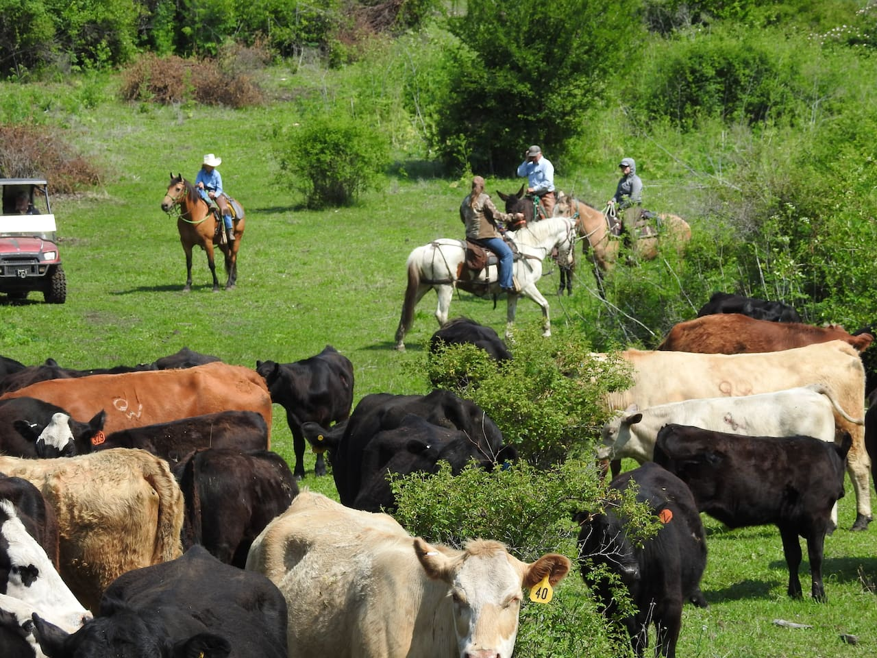 Saddle up, herd 'em up, move 'em out! Take part in this fun adventure. This is the real deal! You will travel through a variety of terrain and the cattle tend to try to wander off. It's your job to keep them together and round up the stragglers