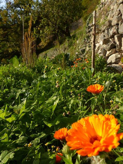 Calendula dans le jardin