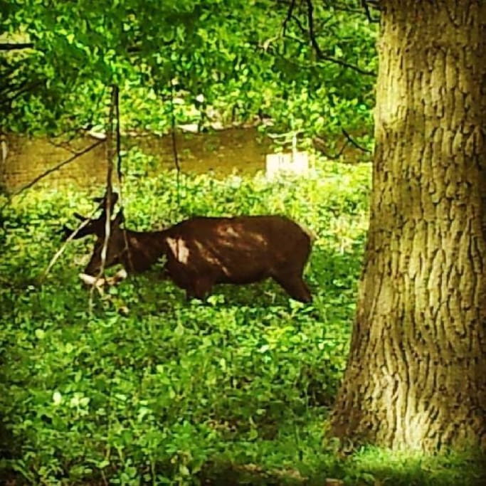deer in Richmond park. About 20min walk