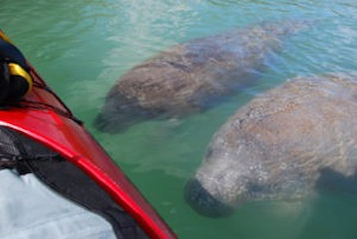 Curious Manatees (the Sea Cow) in Gulf Nearby