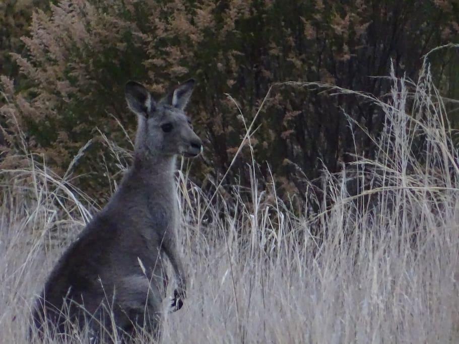 Resident Grey Kangaroo
