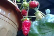straberry-from garden