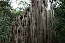 Curtain fig - one of the major attractions of nearby Atherton Tablelands