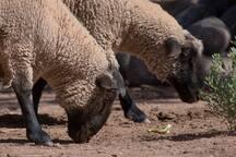 Nuestras ovejas.