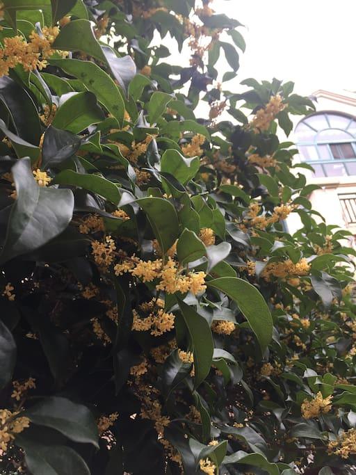 满园都是桂花树,现在正是怒放的时节。喜欢赏桂的朋友快来!坐在桂花树下品茗,何等的惬意!