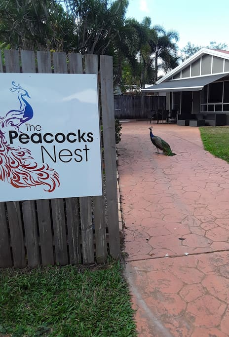 Even the Peacocks like meeting new people