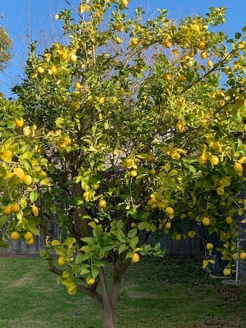 Jen n Franks Lemon Tree