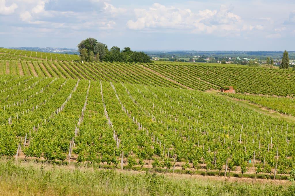 The surrounding vineyards