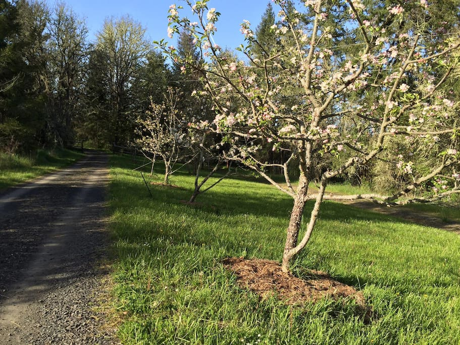 Driveway and apple trees in bloom