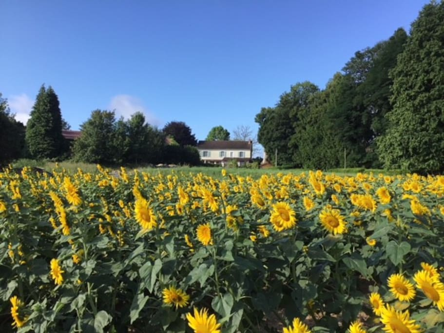 Sunflowers in front of our house