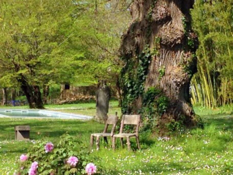printemps au pied du tulipier de Virginie de 300ans !