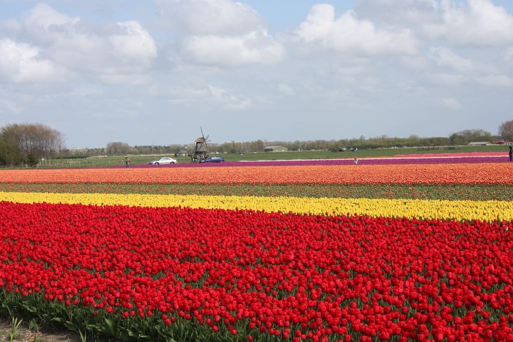 op korte afstand in de lente de bloembollenvelden