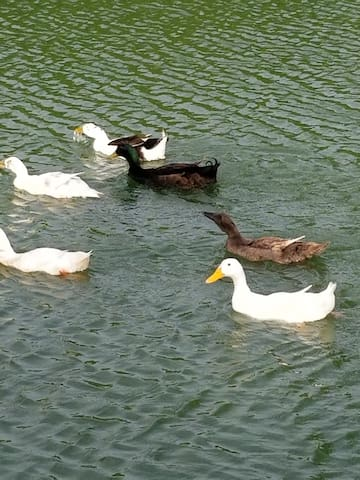 Ducks on the front Pond