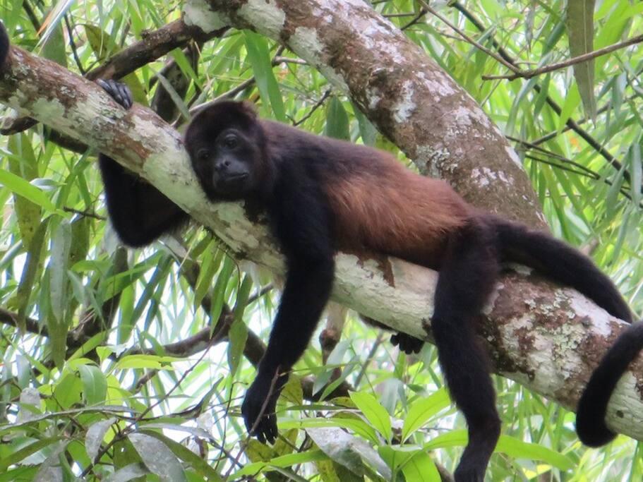 Golden-mantled howler monkey (Alouatta palliata)