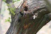 Striped Woodpecker in the garden