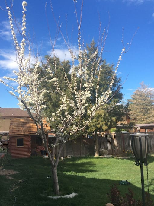 A blooming plum tree.