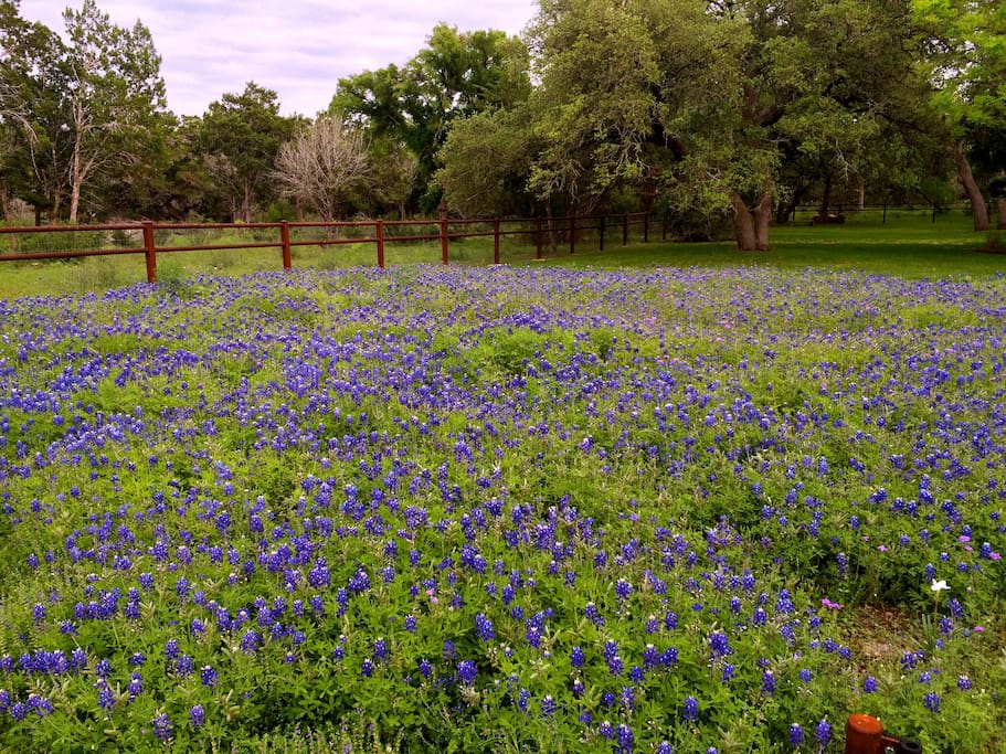 Our Spring Bluebonnets - the official state flower of Texas.