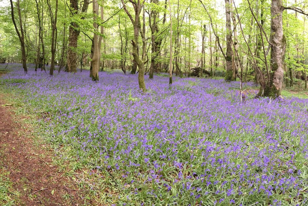 Walk through the bluebells in the woods in May