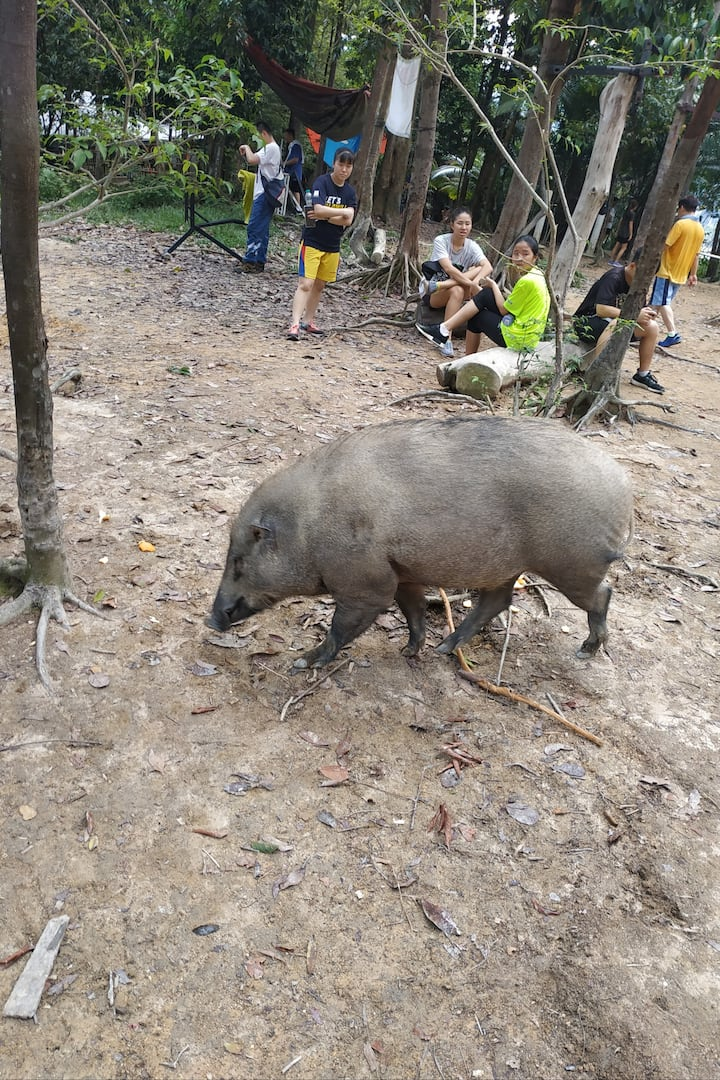 Strong muscle wild boar at hill peak