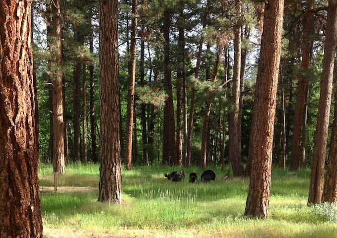 Wild turkeys in our yard.