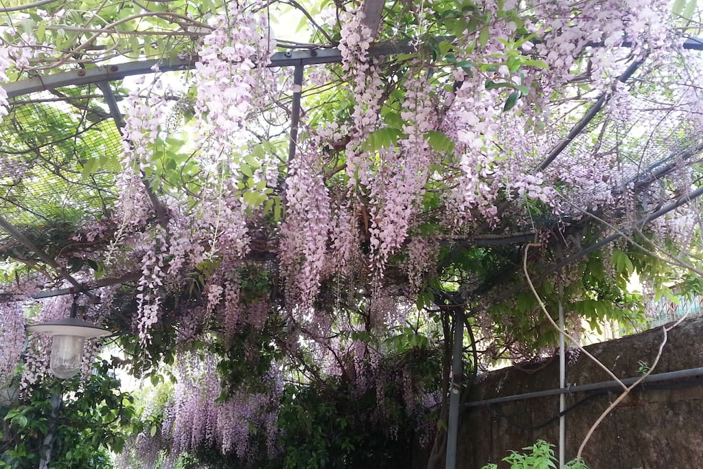 terrace with wisteria in bloom