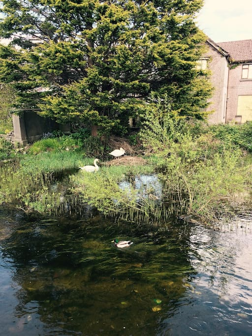 Two nesting swans protect their eggs in a nest right outside the house