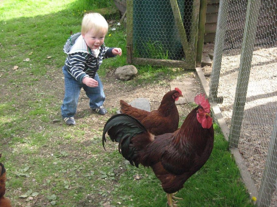 We have 16 chickens on the farm- they provide wonderful eggs for you to purchase