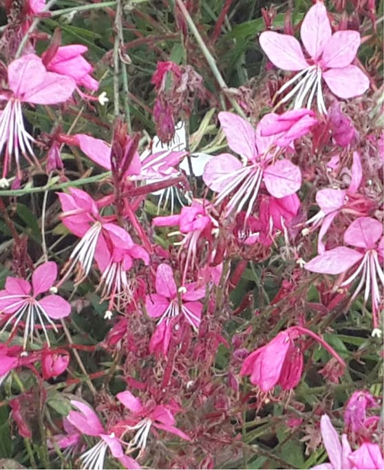 Beautiful faerie flowers - well that what we like to call them.