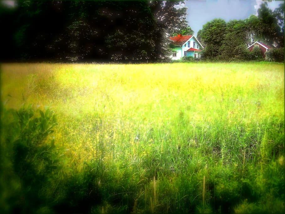 The Prästgård B&B seen from across fields golden with dandelions