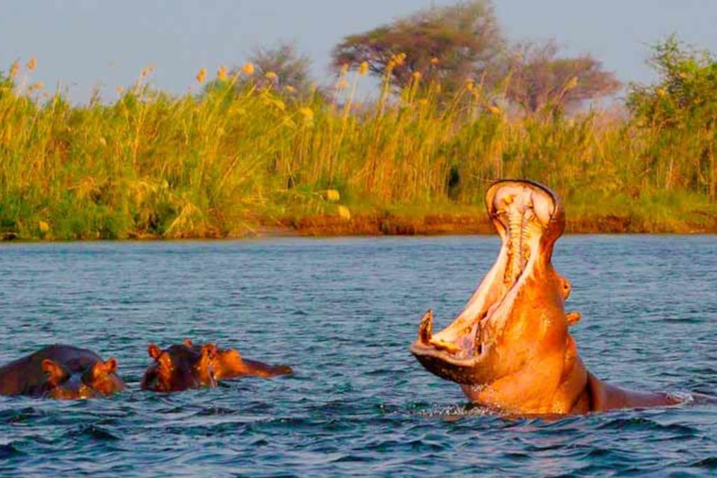 Happy Hippo's singing a happy song...