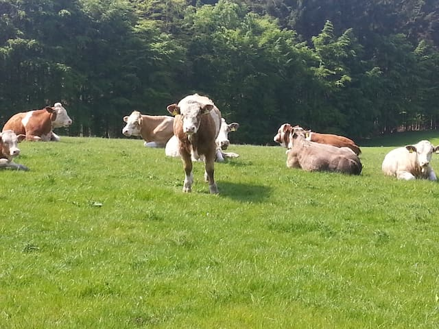 Some of the cattle reared on the farm.