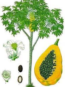 Green Papaya @ Casa Magnolia