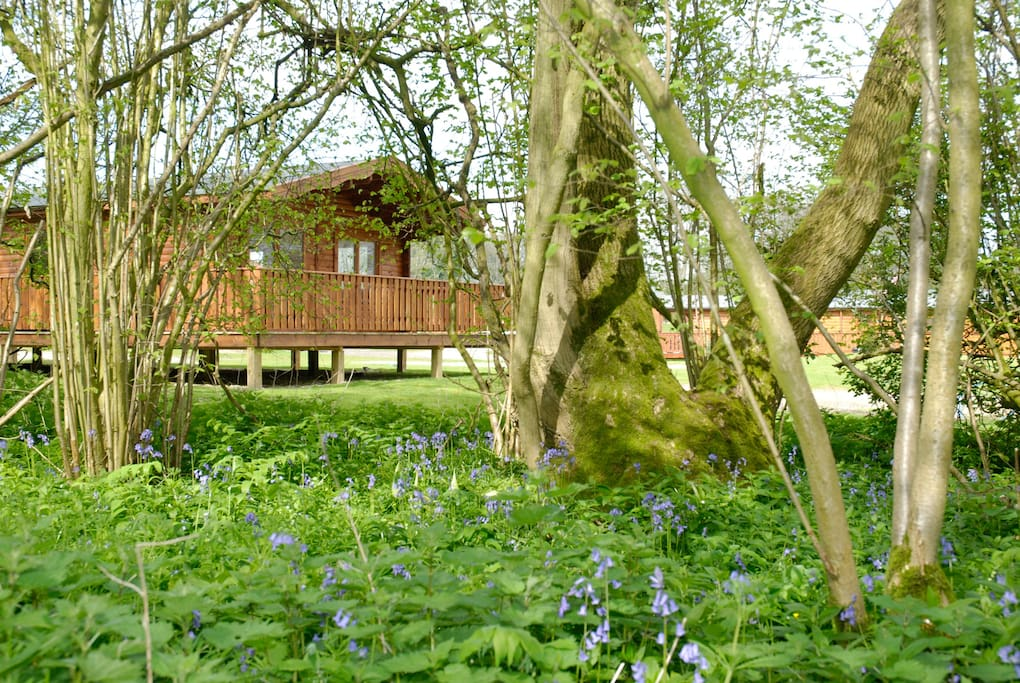 bluebell wood surrounding all our five star lodges