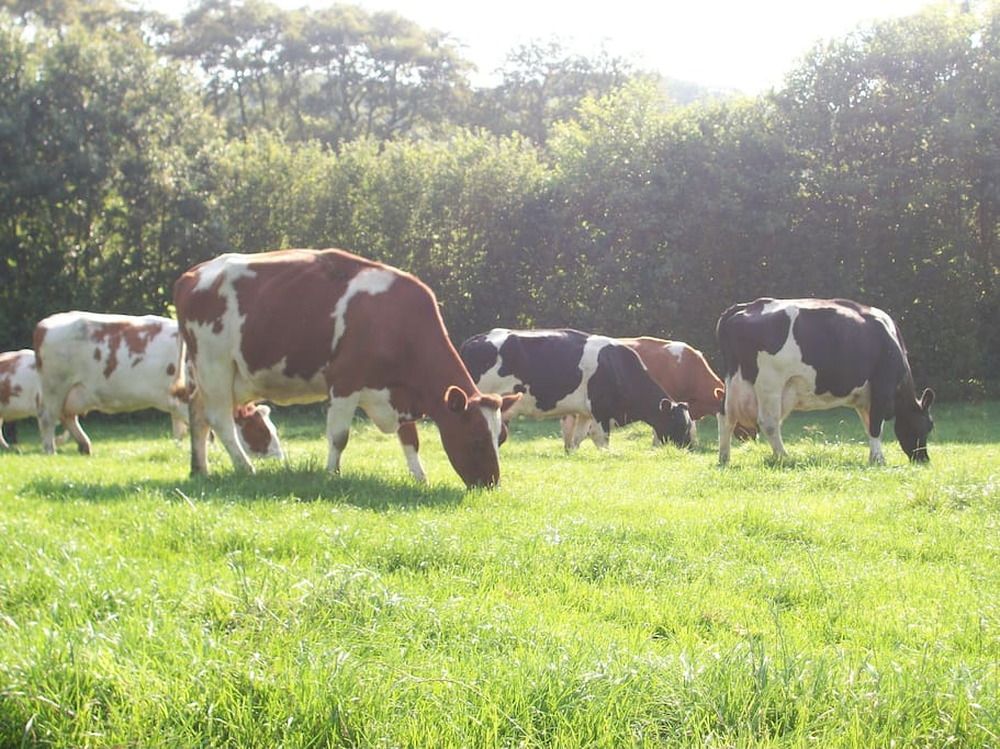 watch the cows grazing from your own garden