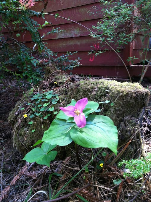 Beautiful trillium flowers just outside your door in the spring.