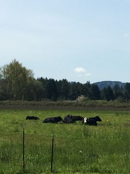 Borrowed cows for mowing