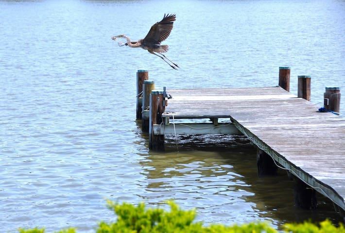 Blue Heron!