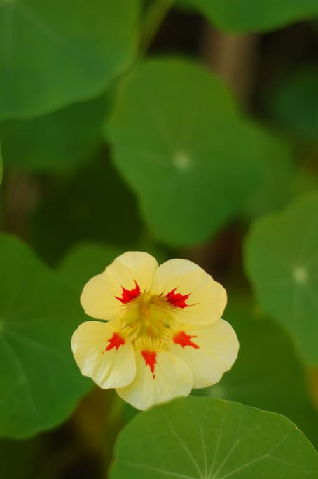 Our yard is awash in Nasturtiums all summer!