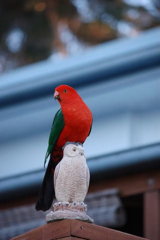 Male King Parrot checking out the area!