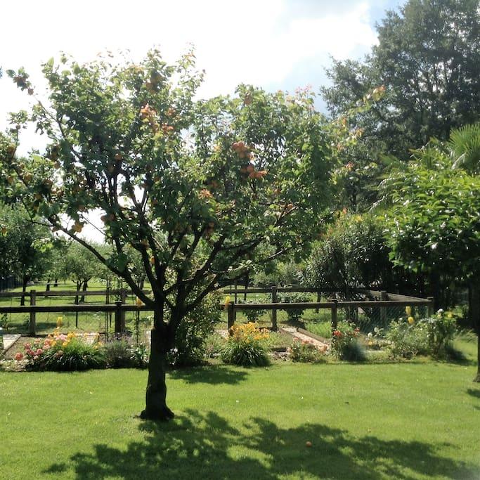 Casa Nostra Apricot Tree and Orto (veggie garden)
