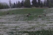 Deer in our field in June