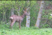 A rude deer in the garden( sticking his tongue out)!